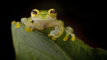 Glass Frog - Biologist Robin Moore Searches for and Photographs the Lost Frogs of the World