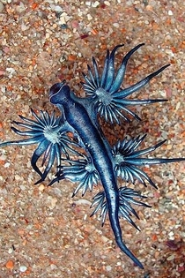 Glaucus Atlanticus Blue Dragon or Sea Swallow is a pelagic aeolid nudibranch found in the coastal waters of South Africa Europe and Australia