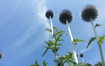 Globe Thistle Echinops growing wild in Michigans Upper Peninsula