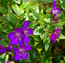 Glory Bush  Tibouchina Lepidota