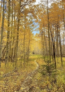 Glowing Aspen Trees - Grand Mesa CO