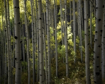 Glowing Forest in Crested Butte CO
