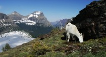 Going to the Sun Mtn and goat on the continental divide near hidden lake Glacier National Park MT