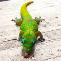 Gold Dust Day Gecko x