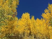 Golden Aspens in Mt Evans Wilderness CO