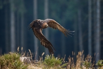 Golden Eagle Aquila chrysaetos flying through a pine forest  photo by John Gooday