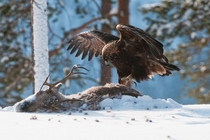 Golden eagle Aquila chrysaetos killed a reindeer Rangifer tarandus