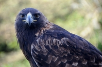 Golden Eagle Aquila chrysaetos staring into your soul