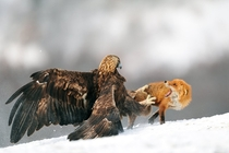 Golden Eagle chasing Fox away  Photo by Yves Adams