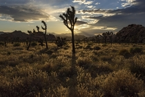 Golden Hour in Joshua Tree National Park