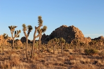 Golden hour in Joshua Tree National Park California