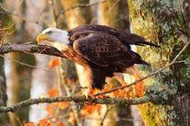 Golden Hour Watch American Bald Eagle