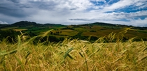 Golden Italian Grain Field Umbria Italy