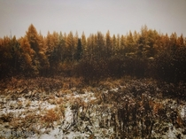 Golden larch trees in winter Qubec  OC