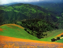 Golden Poppies Santa Ynez California