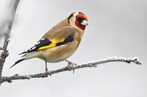 Goldfinch Photo credit to Carl Bovis