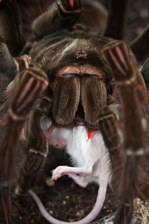 Goliath Bird-eating Spider Theraphosa blondi