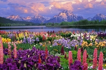 Gorgeous view of the Grand Tetons from across a flowering meadow