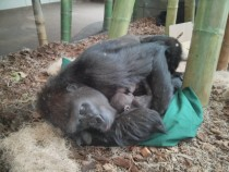 Gorilla Co-sleeping with Newborn Gorilla