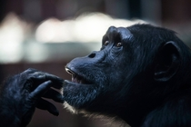 Gorilla with human-like contemplation at Chester Zoo