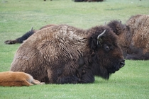 Got the stink eye from this Bison in Yellowstone