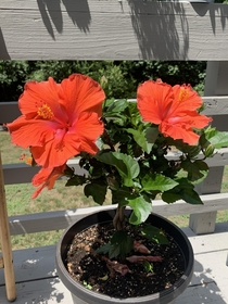 Got this Hibiscus Hibiscus rosa - sinensis from Home Depot a couple months ago when it was near death All its leaves were yellowing or already yellow so we got all those off some good soil and just the right about of water and its been a very happy plant