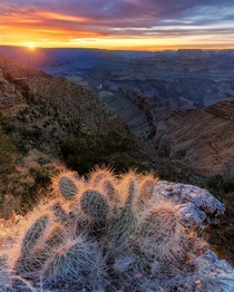 Grand Canyon Cactus