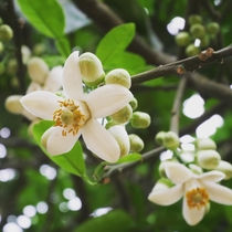 Grapefruit flowers in Vietnam