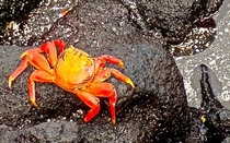 Grapsus grapsus Sally Lightfoot Crab Galapagos Ecuador