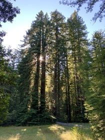 Grateful to have easy access to Redwoods  Big Basin Redwoods State Park Big Basin CA