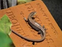 Gravid female Japanese five-lined skink