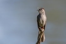 Gray Catbird belts out a stolen song