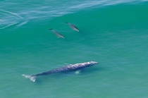 Gray Whale Escorted by Dolphins San Diego CA OC