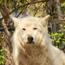Gray Wolf crystal from the Smithsonian zoo in dc Sadly she passed away at  years old on April   Picture taken March