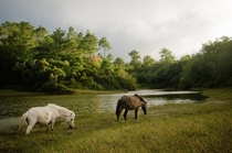 grazing horses near Lake Danum Sagada Philippines