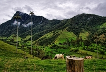 Grazing in the Mistic Cocora Valley Colombia