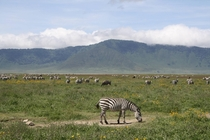 Grazing zebras in the Ngorongoro crater Tanzania Photographer Me