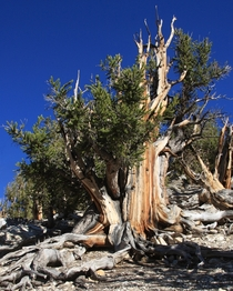 Great Basin bristlecone pine the oldest living creature