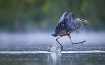Great Blue Heron Ardea Herodias Christopher Schlaf