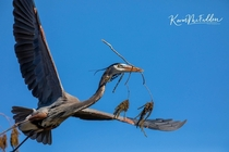 Great Blue Heron - delivering nesting materials Lakeland FL