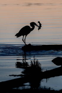 Great Blue Heron eating a catfish breakfast at dawn