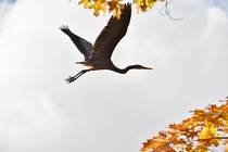 Great Blue Heron I Saw Today In Upstate New York