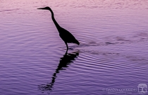 Great blue heron silhouette after sunset