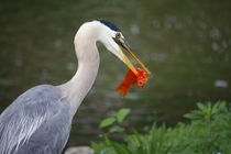 Great Blue Heron stops by for lunch goldfish shocked by what happens next