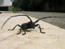 Great Capricorn beatle - Cerambyx cerdo OC