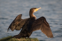 Great Cormorant Phalacrocorax carbo drying his wings by Cog
