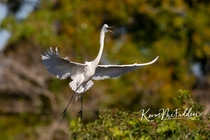 Great Egret - coming in for landing - Vebnice FL