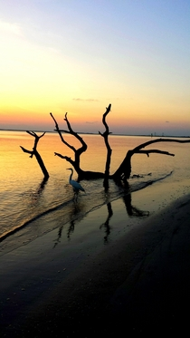 Great egret driftwood and sunset on Jekyll Island