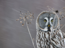 Great Gray Owl Strix Nebulosa near Oulu Finland
