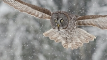 Great Gray Owl Strix nebulosa the largest species of owl  photo by Maxime Riendeau